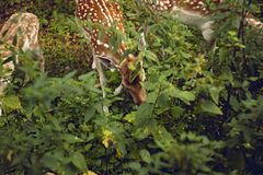 Fallow deers in the summer forest. Three fallow deers feeding on leaves in the summer forest royalty free stock images