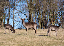 Fallow-deers. In the wild Royalty Free Stock Photography