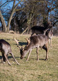 Fallow-deers. In the wild Royalty Free Stock Images