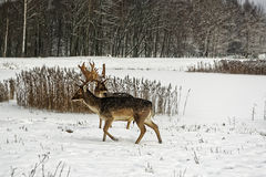 Fallow deers in winter snow field Royalty Free Stock Photography