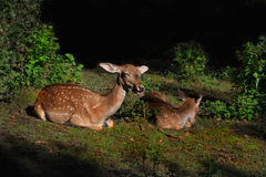 Fallow Deers   Royalty Free Stock Photos