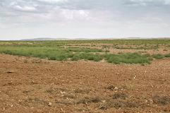 Fallow field. In an agricultural landscape in Ciudad Real Province, Spain. Weeds growing on the ground are clumps of Saltwort (Salsola kali royalty free stock photo