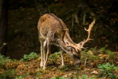Fallow grazing in the field stock photo