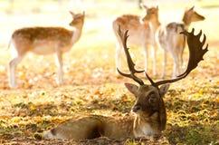 Fallow masculino com alguns hinds Fotografia de Stock