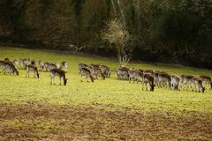 Fallow park deer in Bovey Castle grounds. Herd of peaceful grazing fallow deer on a cold March day stock photo