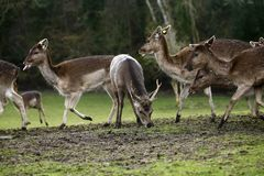Fallow park deer in Bovey Castle grounds. Herd of peaceful grazing fallow deer on a cold March day stock photos