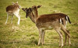 Fallow park deer in Dartington Deer Park grounds. Herd of peaceful grazing fallow deer on a cold March day stock photo