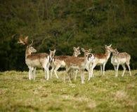 Fallow Park Deer In Dartington Deer Park Grounds Royalty Free Stock Photography