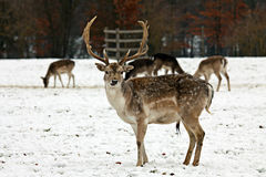 Fallow Stag Stock Photo