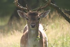 Fallowdeer. Fallow deer in Stock Photos