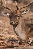 Fallower deer. Portrait of a fallower deer royalty free stock photos