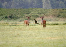 Fallow deers. Two fallow deer on a forest glade Royalty Free Stock Photography