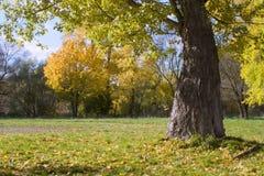 fallpoplarstick Royaltyfria Foton
