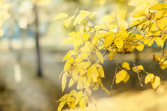 Falls Autumn Leaves branch background Stock Image
