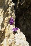 Falls. A close up of a Fairy's Thimble (Campanula Cochleariifolia Royalty Free Stock Photos