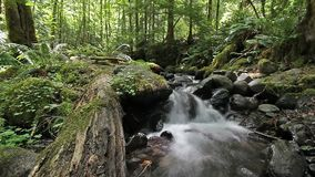Falls Creek Forest and Wilderness in Gifford Pinchot National Forest with Water Flowing Audio Sound in Washington State 1080p stock video