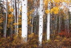 falls osikowi drzewa fotografia royalty free