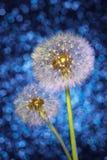 Fallschirme von Löwenzahn-Samen auf hellem blauem Bokeh-Hintergrund Lizenzfreie Stockbilder