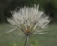 Fallschirme von Tragopogon Stockbild