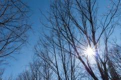 Fallsonne, die durch Überdachung von wilden Himalajakirschbäumen im Park mit klarem blauem Himmel scheint Lizenzfreies Stockbild