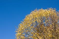 falltree Arkivfoton