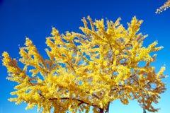 falltree Royaltyfri Foto