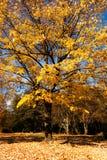 falltree Arkivbild