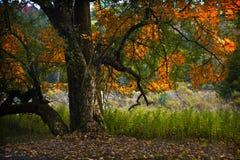 falltree Royaltyfria Bilder