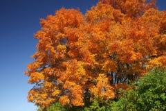 falltree Royaltyfria Foton