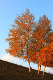 falltrees royaltyfri foto