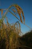 Falm de riz de Spike Black, riz, champ de maïs, paddy, oreille de paddy Photo libre de droits