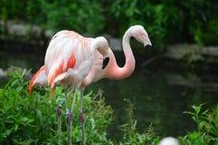 Falmaingo. This photo was taken at Lincoln Park Zoo Chicago IL Royalty Free Stock Photo