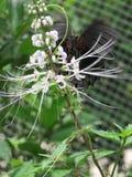 Falpping-Schmetterling Lizenzfreie Stockfotografie