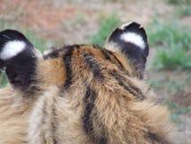 Falsche Augen eines Tigers Lizenzfreies Stockfoto