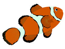 Falsche Clown-Anemonefish-Illustration stock abbildung