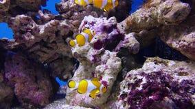 Falsche Clown anemonefish oder nemo Amphiprion ocellaris stock footage
