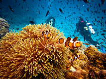 Falsche Clown-Fische und Unterwasseratemgerät-Taucher Stockfotos