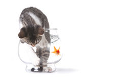 Falsche Katze in einem Fishbowl schlecht benehmend lizenzfreie stockfotografie