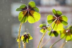 Falsche Shamrocks, vierblättriges Kleeblatt, glücklicher Klee, glückliches Blatt in der Hintergrundbeleuchtung Lizenzfreie Stockbilder