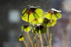 Falsche Shamrocks, vierblättriges Kleeblatt, glücklicher Klee, glückliches Blatt in der Hintergrundbeleuchtung Lizenzfreie Stockfotos