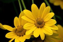 Falsche Sonnenblume Stockfoto