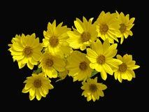 Falsche Sonnenblumen Lizenzfreie Stockfotos