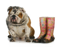 Falscher Hund Lizenzfreie Stockbilder