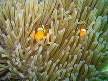 Falsches Clown anemonefish (Amphiprion ocellaris) Stockbild