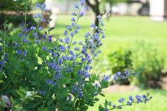 Falsches Indigo-Blume stockfotos