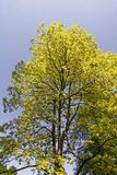 False Acacia, Black locust, Robinia pseudoacacia from Germany Royalty Free Stock Images