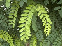 False acacia in the park Stock Image