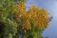 False Acacia (Robinia pseudoacacia) Stock Images