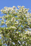 False acacia tree Stock Image