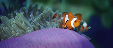 False anemonefish or Clownfish, Amphiprion ocellaris, is hiding in a anemone